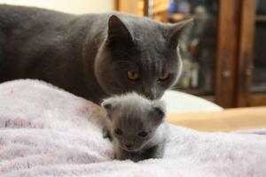 Superbes Chatons Chartreux Pure Race Pedigree