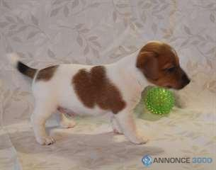 Chiens A Donner Chiot Type Jack Russel Male
