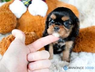 Chiens Chiot Femelle Cavalier King Charles A Donner